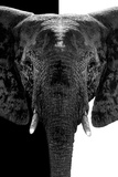 Safari Profile Collection - Elephant B&W III Photographic Print by Philippe Hugonnard