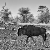 Awesome South Africa Collection Square - Blue Wildebeest walking Photographic Print by Philippe Hugonnard