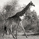 Awesome South Africa Collection Square - Giraffe Profile B&W Photographic Print by Philippe Hugonnard