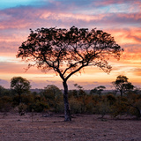 Awesome South Africa Collection Square - Silhouette of Acacia Tree at Sunrise Photographic Print by Philippe Hugonnard