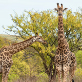 Awesome South Africa Collection Square - Look Giraffes II Photographic Print by Philippe Hugonnard