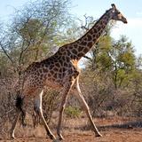 Awesome South Africa Collection Square - Giraffe Profile Fotografiskt tryck av Philippe Hugonnard
