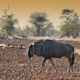 Awesome South Africa Collection Square - Blue Wildebeest walking at Sunset Photographic Print by Philippe Hugonnard