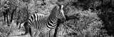 Awesome South Africa Collection Panoramic - Zebra B&W Photographic Print by Philippe Hugonnard