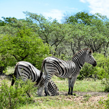 Awesome South Africa Collection Square - Two Burchell's Zebras II Photographic Print by Philippe Hugonnard