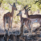 Awesome South Africa Collection Square - Impala Family Photographic Print by Philippe Hugonnard