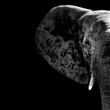 Safari Profile Collection - Elephant Portrait Black Edition II Photographic Print by Philippe Hugonnard