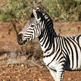 Awesome South Africa Collection Square - Burchell's Zebra Portrait Photographic Print by Philippe Hugonnard