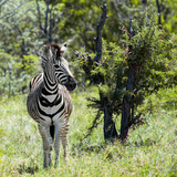 Awesome South Africa Collection Square - Burchell's Zebra Photographic Print by Philippe Hugonnard