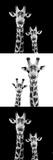 Safari Profile Collection - Two Giraffes III Fotografisk tryk af Philippe Hugonnard