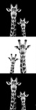 Safari Profile Collection - Two Giraffes III Photographic Print by Philippe Hugonnard