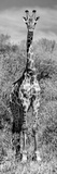 Awesome South Africa Collection Panoramic - Giraffe Portrait B&W Photographic Print by Philippe Hugonnard