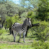 Awesome South Africa Collection Square - Burchell's Zebra II Photographic Print by Philippe Hugonnard