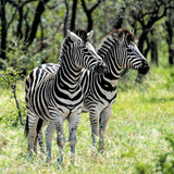 Awesome South Africa Collection Square - Two Burchell's Zebras Photographic Print by Philippe Hugonnard