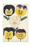 Antique Pansies II Posters