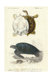 Antique Turtle Duo I Print van  Oudart