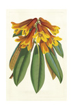 Tropical Rhododendron II Prints by Horto Van Houtteano