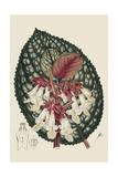 Begonia Varieties III Posters af Stroobant