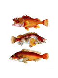 Orange Fish Trio Prints by Fab Funky