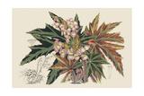 Begonia Varieties I Posters af Stroobant