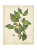 Beech Tree Foliage Prints by John Torrey