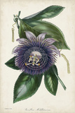 Plum Passion Flower Posters by  Paxton