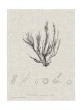 Charcoal & Linen Seaweed VI Print by Henry Bradbury