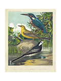 King-fisher & Wagtails Prints by  Cassell