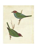 Peruvian Tanager II Posters by  Cassin