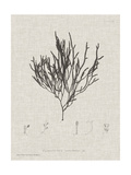 Charcoal & Linen Seaweed IV Poster by Henry Bradbury