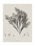 Charcoal & Linen Seaweed V Prints by Henry Bradbury