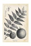 Vintage Black Walnut Tree Posters by Thomas Nuttall