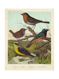 Robin, Wren & Redstart Posters by  Cassell