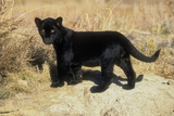 Black Jaguar (Panthera Onca) Kitten, Captive Photographic Print by Charlie Summers