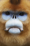 Golden Snub-Nosed Monkey (Rhinopithecus Roxellana Qinlingensis) Adult Male Portrait Photographic Print by Florian Möllers