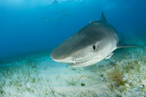 Tiger Shark (Galeocerdo Cuvier) Northern Bahamas, Caribbean Sea, Atlantic Ocean Photographic Print by Franco Banfi