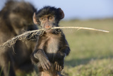 Chacma Baboon (Papio Ursinus) Infant Playing with Ostrich Feather Photographic Print by Tony Phelps
