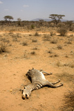 Dead Grevy's Zebra (Equus Grevyi) Most Likely the Result of the Worst Drought (2008-2009) Photographic Print by Lisa Hoffner