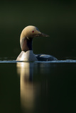 Black-Throated Diver (Gavia Arctica), Finland, June Photographic Print by Danny Green