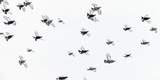 Black Grouse (Tetrao - Lyrurus Tetrix) Flock Flying in Snow, Suomussalmi, Finland, January Photographic Print by Markus Varesvuo