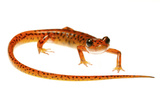 Cave Salamander (Eurycea Lucifuga) Nachez Trace Parkway, Mississippi, USA Photographic Print by Jp Lawrence
