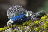 Torquate Lizard (Sceloporus Torquatus) Male, Milpa Alta Forest, Mexico, August Photographic Print by Claudio Contreras Koob