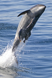 Common Bottlenose Dolphin (Tursiops Truncatus) Breaching with Two Suckerfish - Remora Attached Photographic Print by Mark Carwardine