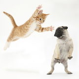 Ginger Kitten Leaping Towards a Pug Puppy Photographic Print by Mark Taylor