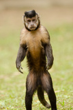 Black Capuchin, (Sapajus Nigritus) Female Standing on Hind Legs, Rio De Janeiro, Brazil Photographic Print by Mark Bowler