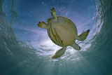 Green Turtle (Chelonia Mydas) with Rays of Sunlight, Akumal, Caribbean Sea, Mexico, January Photographic Print by Claudio Contreras