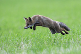 Red Fox (Vulpes Vulpes) Pouncing in Grass. Vosges, France, July Photographic Print by Fabrice Cahez