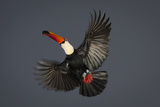 Toco Toucan (Ramphastos Toco) in Flight, Pantanal, Brazil Photographic Print by Wim van den Heever