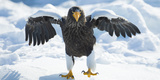 Steller's Sea-Eagle (Haliaeetus Pelagicus) Standing on Pack Ice, Hokkaido, Japan, February Photographic Print by Wim van den Heever