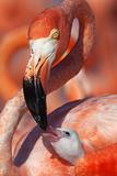 Caribbean Flamingo (Phoenicopterus Ruber) Adult Feeding Chick Photographic Print by Claudio Contreras